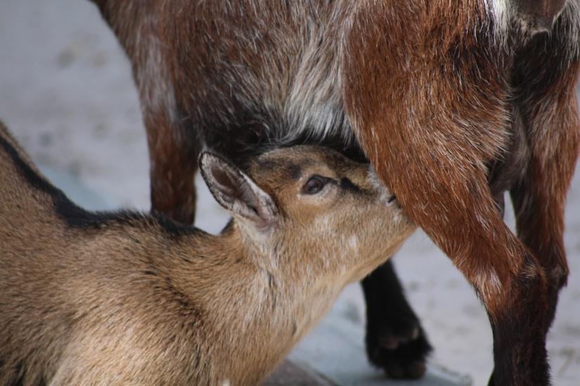 zoo-pessac-bordeaux-enfant-sortie-parc-animalier-dinosaure-opération-raptors-squelette-chèvre-bébé