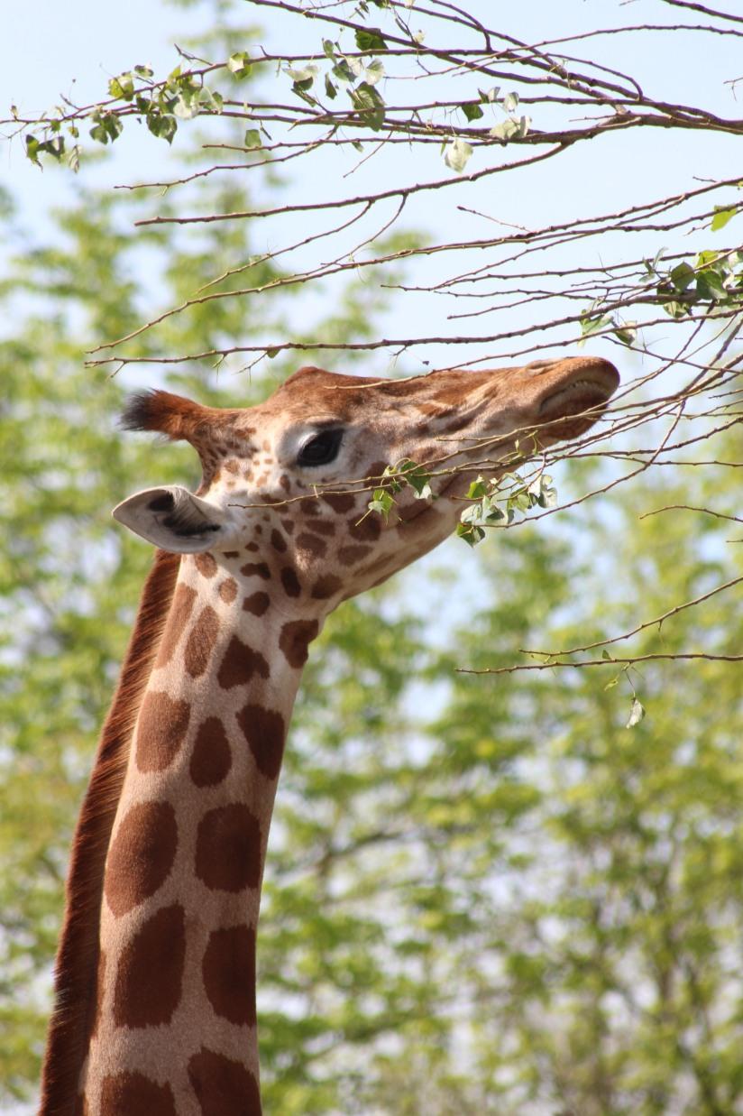 zoo-pessac-bordeaux-enfant-sortie-parc-animalier-dinosaure-opération-raptors-squelette-girafe