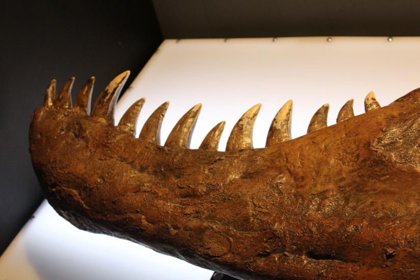 capsciences-t-rex-dinosaure-exposition-atelier-animation-bordeaux-enfant-machoire-dent-squelette