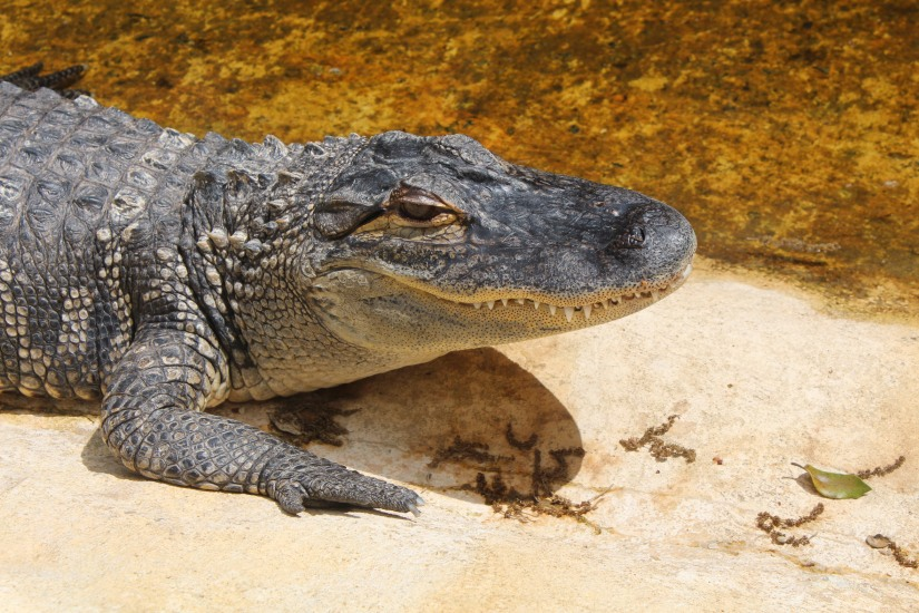 dordogne-perigord-alligator-park-aquarium-village-bournat-cabane-arbres-perchees-tertre-bugue-sarlat-gironde-aquitaine-crocodile-antan-autrefois-1900-siècle-14