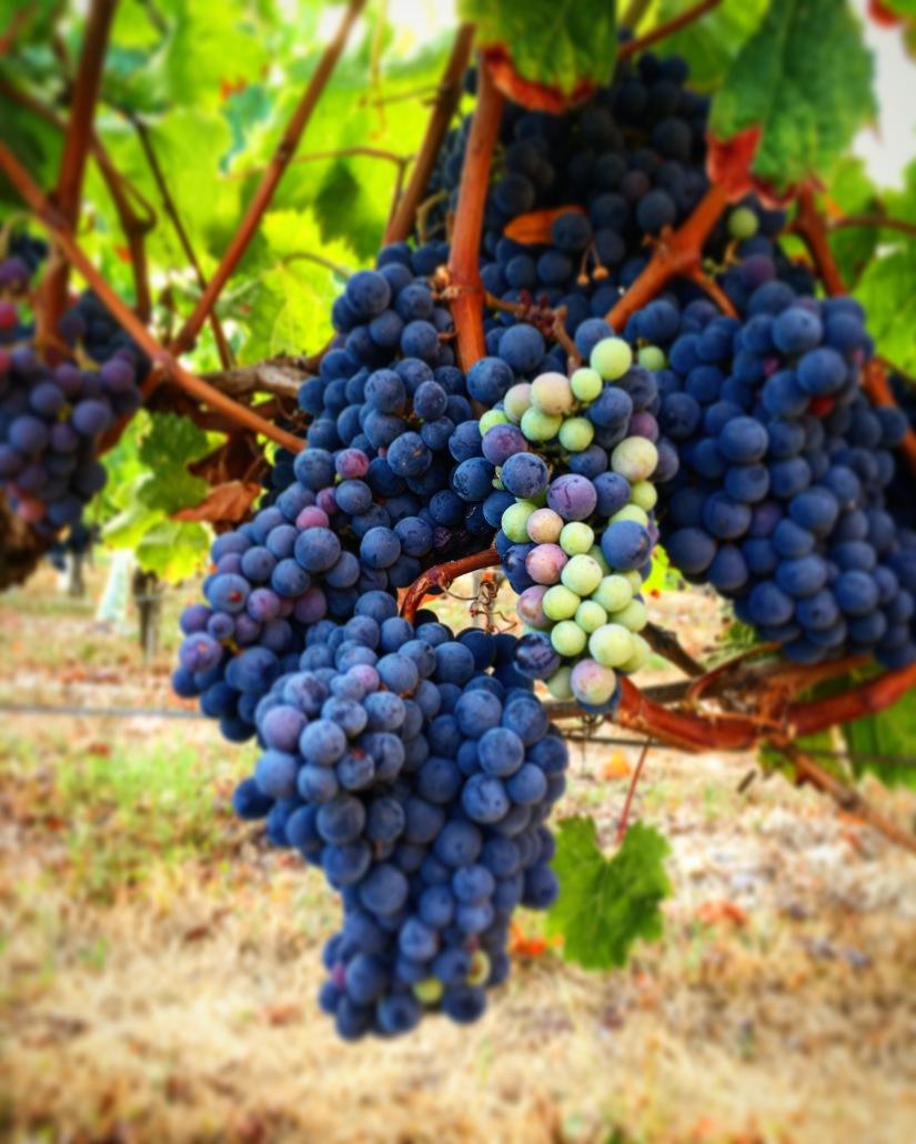 chateau-tournefeuille-neac-lalande-pomerol-saint-emilion-vigne-vignoble-chambre-hote-vins-oenotourisme-famille-gironde-aquitaine-17